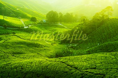 Tea Plantations at Cameron Highlands Malaysia. Sunrise in early morning with fog. Stock Photo - Royalty-Free, Artist: szefei                        , Code: 400-05205298