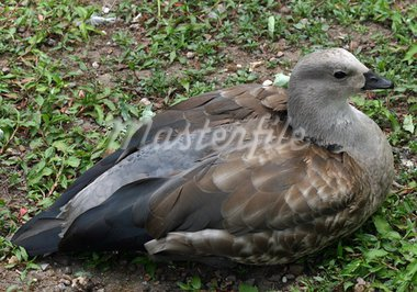Abyssinian blue-winged goose Stock Photo - Royalty-Free, Artist: rhallam                       , Code: 400-05339177