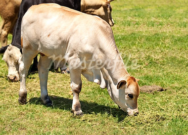 white calf australian beef cattle grazing on green grass Stock Photo - Royalty-Free, Artist: sherjaca                      , Code: 400-05342368