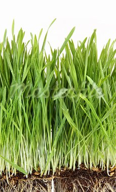 Closeup of wheatgrass on white background Stock Photo - Royalty-Free, Artist: Sandralise                    , Code: 400-05357303