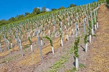 vineyard with young plants Stock Photo - Royalty-Free, Artist: Jochen                        , Code: 400-05357385