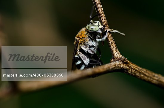 Amegilla zonata in green nature or in the garden Stock Photo - Royalty-Free, Artist: SweetCrisis                   , Code: 400-05358568