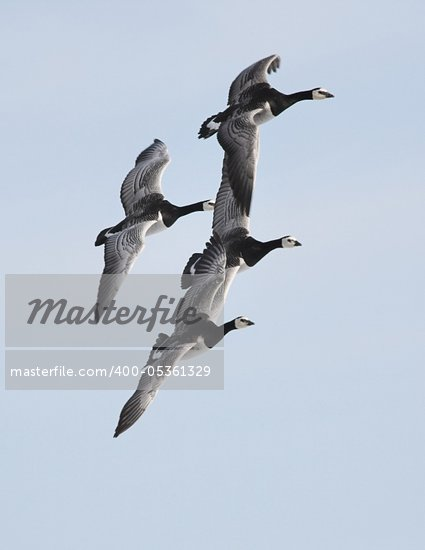 Barnacle gees flying over Arctic glaciers Stock Photo - Royalty-Free, Artist: erectus                       , Code: 400-05361329