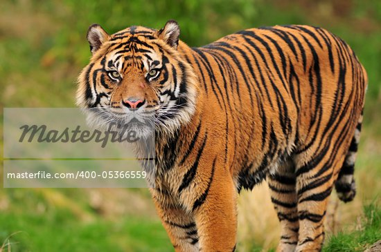 Closeup portrait of a beautiful Sumatran tiger looking at the camera Stock Photo - Royalty-Free, Artist: neelsky                       , Code: 400-05366559