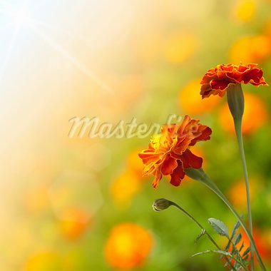 Beautiful tagetes Stock Photo - Royalty-Free, Artist: nndemidchick                  , Code: 400-05370267