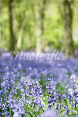 Bluebells Growing In Woodland Stock Photo - Royalty-Free, Artist: MonkeyBusinessImages          , Code: 400-05374265