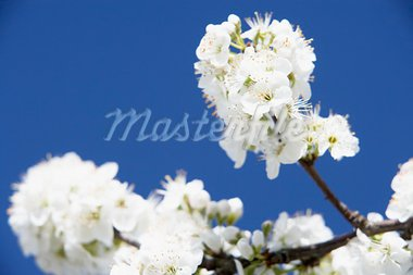 Apple Blossom Against Blue Sky Stock Photo - Royalty-Free, Artist: MonkeyBusinessImages          , Code: 400-05374347
