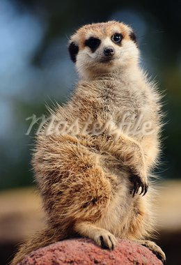 Meerkat sitting on top of a clay heap, looking at the camera Stock Photo - Royalty-Free, Artist: neelsky                       , Code: 400-05378766