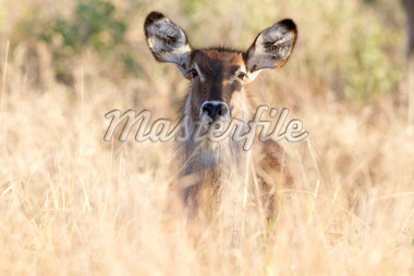 Young waterbuck Stock Photo - Premium Royalty-Freenull, Code: 6106-05394809