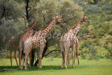 Giraffes, Giraffa camelopardalis Stock Photo - Premium Royalty-Freenull, Code: 6106-05395271
