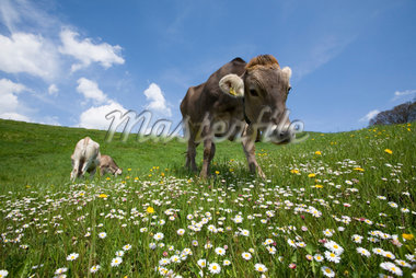 bavarian cow Stock Photo - Premium Royalty-Freenull, Code: 6106-05490951