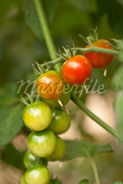 Organic Cherry Tomatoes Growing in Greenhouse, Laugaras, South Iceland, Iceland Stock Photo - Premium Royalty-Free, Artist: Atli Mar Hafsteinsson, Code: 600-05524167