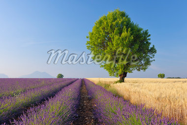 Tree in Lavender and Wheat Field, Valensole Plateau, Alpes-de-Haute-Provence, Provence-Alpes-Cote d´Azur, Provence, France Stock Photo - Premium Royalty-Free, Artist: Martin Ruegner, Code: 600-05524624