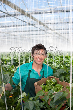 Man picking produce in greenhouse Stock Photo - Premium Royalty-Freenull, Code: 635-05550699
