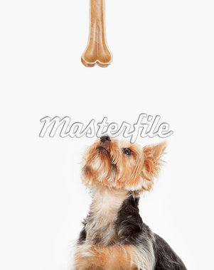 Dog looking up at bone Stock Photo - Premium Royalty-Freenull, Code: 635-05551120