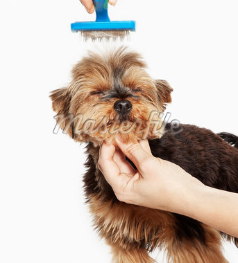 Person grooming dog Stock Photo - Premium Royalty-Freenull, Code: 635-05551126