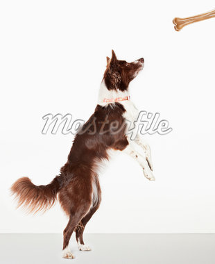 Dog standing to reach bone Stock Photo - Premium Royalty-Freenull, Code: 635-05551135
