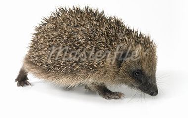 Hedgehog Standing Against a White Background Stock Photo - Premium Royalty-Freenull, Code: 6106-05590703