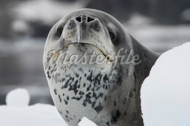 leopard seal portrait Stock Photo - Premium Royalty-Freenull, Code: 618-05605248