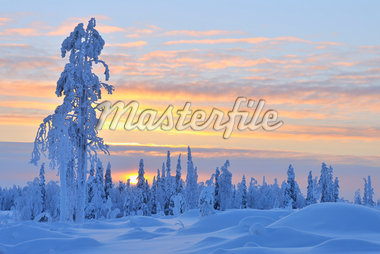 Snow Covered Tree at Sunset, Nissi, Northern Ostrobothnia, Finland Stock Photo - Premium Royalty-Free, Artist: Raimund Linke, Code: 600-05610015