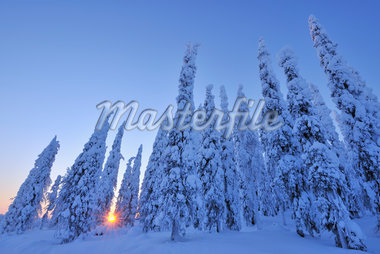 Snow Covered Spruce Trees at Sunrise, Kuusamo, Northern Ostrobothnia, Finland Stock Photo - Premium Royalty-Free, Artist: Raimund Linke, Code: 600-05610022