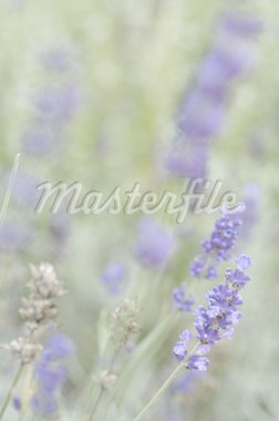 Blooming lavender Stock Photo - Premium Royalty-Freenull, Code: 689-05611565