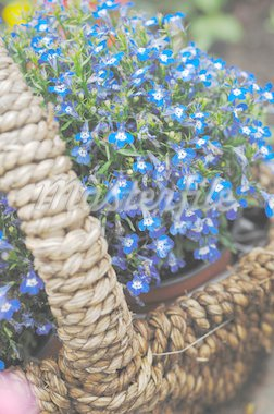 Basket with flowers Stock Photo - Premium Royalty-Freenull, Code: 689-05611896