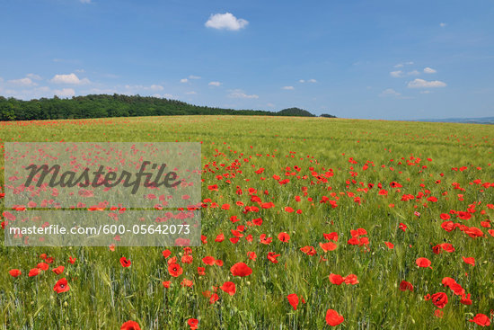 Red Poppies in Field of Grain, Blankenburg, Harz, Saxony-Anhalt, Germany Stock Photo - Premium Royalty-Free, Artist: Raimund Linke, Code: 600-05642073