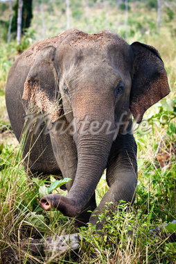 Sri Lankan Elephant, Udawalawe National Park, Sri Lanka Stock Photo - Premium Rights-Managed, Artist: R. Ian Lloyd, Code: 700-05642166