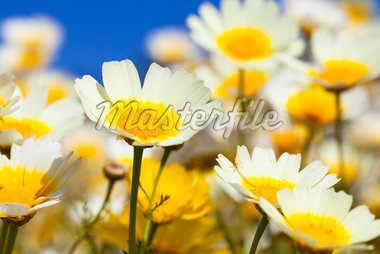 Oxeye Daisies, Greece Stock Photo - Premium Royalty-Free, Artist: F. Lukasseck, Code: 600-05653235