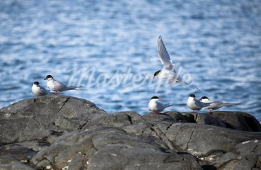 Arctic tern in natural Arctic habitat Stock Photo - Royalty-Free, Artist: erectus                       , Code: 400-05664525