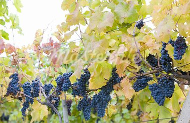 grapevines in vineyard Jecmeniste, Eko Hnizdo, Czech Republic Stock Photo - Royalty-Free, Artist: phbcz                         , Code: 400-05668353