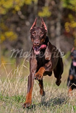 Brown doberman dog running fast Stock Photo - Royalty-Free, Artist: pavelshlykov                  , Code: 400-05669231