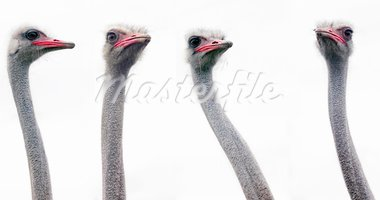 The four ostrich heads on a white background Stock Photo - Royalty-Free, Artist: nazzu                         , Code: 400-05670843