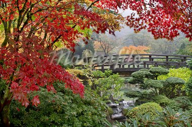 Japanese Maple Trees by the Bridge in Fall Foggy Morning Stock Photo - Royalty-Free, Artist: jpldesigns                    , Code: 400-05676581