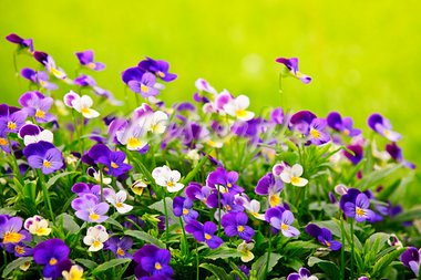 Flowering purple pansies in the garden as floral background Stock Photo - Royalty-Free, Artist: Elenathewise                  , Code: 400-05677122