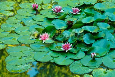 Beautiful water lilies on a pond Stock Photo - Royalty-Free, Artist: kalozzolak                    , Code: 400-05680188