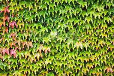 Closeup of lush green ivy covering a wall Stock Photo - Royalty-Free, Artist: paulmaguire                   , Code: 400-05680400