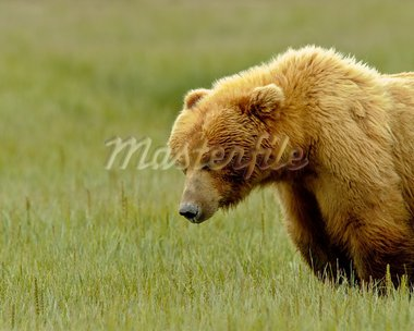 Large grizzly bears from Katmai National Park Stock Photo - Royalty-Free, Artist: GZSTUDIO                      , Code: 400-05681329