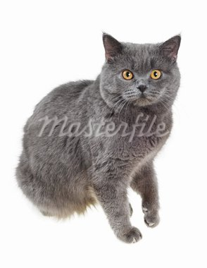 British cat sits and stares into the camera, isolated on white. Stock Photo - Royalty-Free, Artist: grauvision                    , Code: 400-05682210