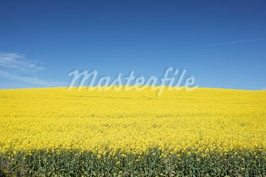 Field Of Oilseed Rape Stock Photo - Royalty-Free, Artist: MonkeyBusinessImages          , Code: 400-05686443