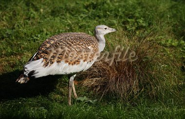 Portrait of a Great Bustard Stock Photo - Royalty-Free, Artist: scooperdigital                , Code: 400-05693089