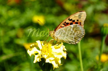 High brown fritillary (Fabriciana adippe) sitting on flower Stock Photo - Royalty-Free, Artist: vintrom                       , Code: 400-05693405