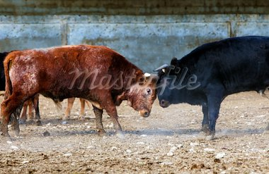 Fighting bulls on a farm Stock Photo - Royalty-Free, Artist: carloscastilla                , Code: 400-05694682