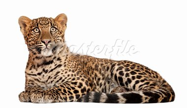 Leopard, Panthera pardus, 6 months old, lying in front of white background Stock Photo - Royalty-Free, Artist: isselee                       , Code: 400-05695840