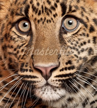 Close-up of Leopard, Panthera pardus, 6 months old Stock Photo - Royalty-Free, Artist: isselee                       , Code: 400-05695846