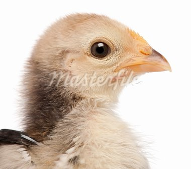 Close-up of Serama, Malay Ayam Serama, a bantam breed of chicken, 3 weeks old, in front of white background Stock Photo - Royalty-Free, Artist: isselee                       , Code: 400-05695998