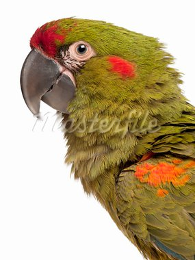 Close-up of Red-fronted Macaw, Ara rubrogenys, 6 months old, in front of white background Stock Photo - Royalty-Free, Artist: isselee                       , Code: 400-05696006