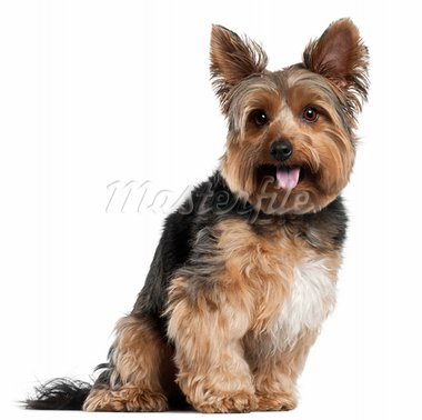 Yorkshire Terrier, 2 years old, sitting in front of white background Stock Photo - Royalty-Free, Artist: isselee                       , Code: 400-05696140