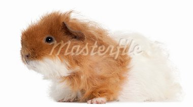 Guinea pig, 7 months old, in front of white background Stock Photo - Royalty-Free, Artist: isselee                       , Code: 400-05696204